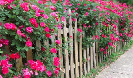 живая изгородь розы